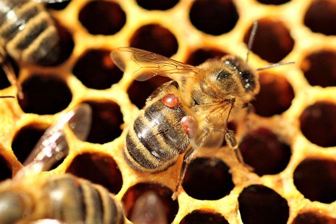 Comparación de materias activas na loita contra a varroa