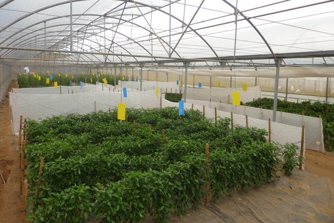 O CIAM logrará este ano semente mellorada de pementos e tomates galegos