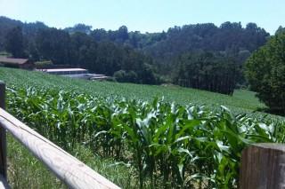 Así permite Asturias aos seus gandeiros cultivar o 100% da superficie con millo forraxeiro
