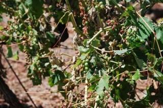 A Xunta non declarará zona catastrófica os viñedos do Bibei afectados pola saraibada