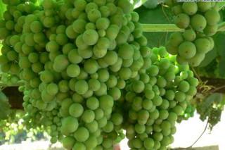 Coidados das viñas durante esta semana