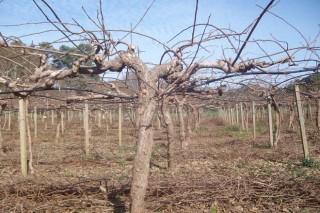 Como converter en enerxía os residuos dunha plantación de kiwis