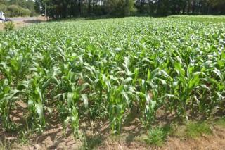 """""""Se chove unha ou dúas semanas antes da floración pode recuperarse o millo"""""""