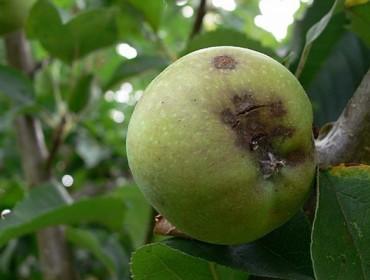 ¿Cuáles fueron las enfermedades que afectaron a los manzanos en Galicia en 2017?
