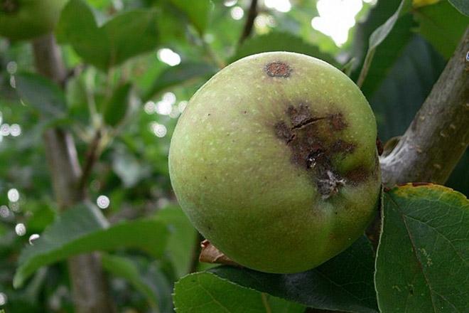 ¿Cales foron as enfermidades que afectaron ás maceiras en Galicia en 2017?