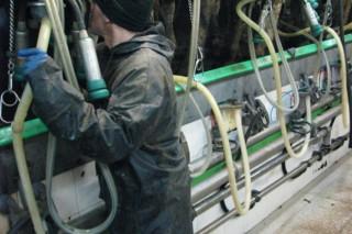 Consellos para un bo muxido das vacas