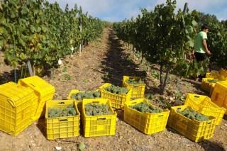 Recomendan esfollar as viñas antes da vendima e non aplicar produtos fitosanitarios