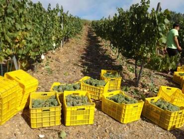 La DO. Valdeorras intensifica las labores de control del origen de la uva en esta vendimia