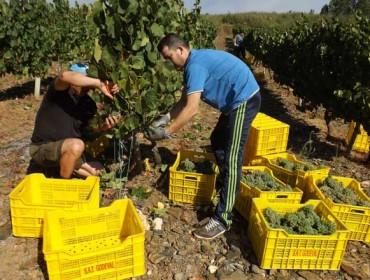 Comeza a vendima en Valdeorras