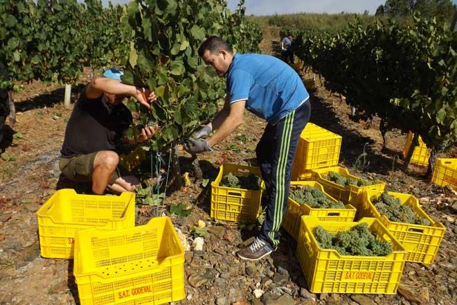 Unha adega de Valdeorras será a primeira de Galicia en comezar a vendima