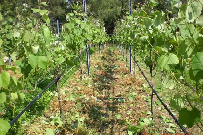 O esfollado precoz mellora a calidade aromática da uva e do viño Albariño