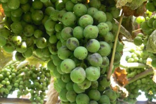 Situación e coidados da viña durante esta semana