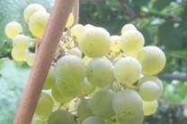 As chuvias, necesarias para o viñedo, implican risco de enfermidades