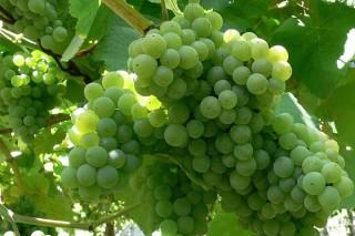 Estado da uva en RíasBaixase coidados durante esta semana