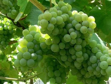 Coidados da viña e das froiteiras durante esta semana