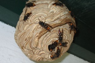 A Xunta reparte máis trampas para frear á vespa asiática