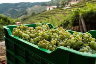 Ribeira Sacra xa leva vendimados 2 millóns de quilos de uva