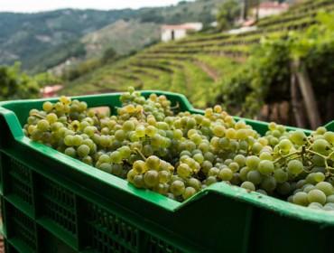 O sector vitícola demanda contratos para a uva antes da vendima
