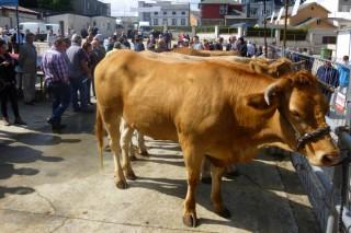 Resultado da poxa de xovencas de Rubia Galega en Pedrafita
