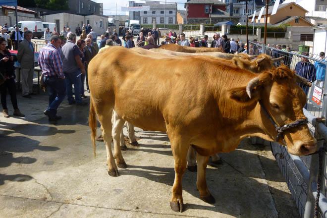 Adxudicadas as catro xovencas de Acruga na Fonsagrada a unha media de 1.937 euros