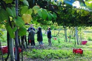 Catro adegas de Rías Baixas asinan contratos con 84 viticultores