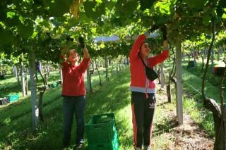 """En Galicia vendimarase un 20,85 % máis de uva e de calidade """"excelente"""""""