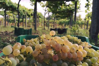A Xunta simplifica a declaración de colleita de uva dos viticultores galegos