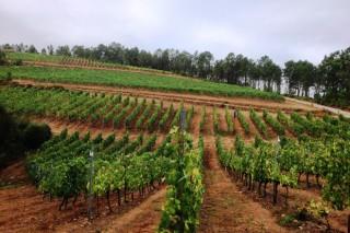 Vantaxes e inconvenientes do laboreo en viñedo