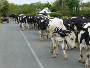 Recomendacións para mover as vacas de maneira eficaz e segura