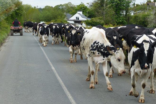 Recomendaciones para mover las vacas de manera eficaz y segura
