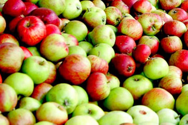 Hijos de Rivera prevé este ano duplicar as compras de mazá galega para elaborar sidra Maeloc