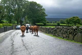 Tráfico multa a un gandeiro de Becerreá por non levar as vacas en fila india pola estrada