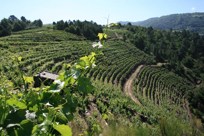 Os viños de pago: ¿Unha alternativa para Galicia?