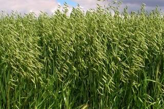 Cultivos alternativos para o pago verde da PAC (V): a avea