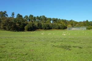 As ovellas están en semi-extensivo