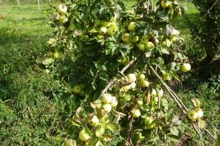 Proponen una terapia de calor para eliminar virus de manzanos y perales autóctonos