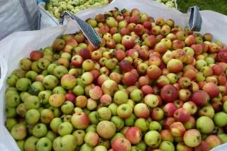 Estrella Galicia busca productores de manzana de sidra en Galicia