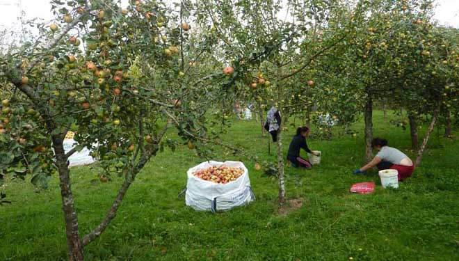 A seca reduce ata un 60% as previsións de colleita de mazá de sidra