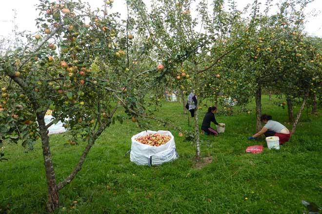 """Jornadas sobre """"Cuidados culturales en los manzanos de sidra: aclareo de frutos"""""""