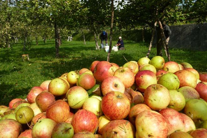 Colleita histórica de mazá de sidra en Galicia