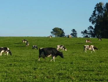 O 60% das explotacións lácteas mantén o uso do pastoreo