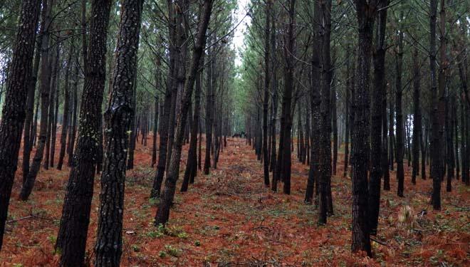 Manexo das masas de piñeiro: plantación, podas e rareos