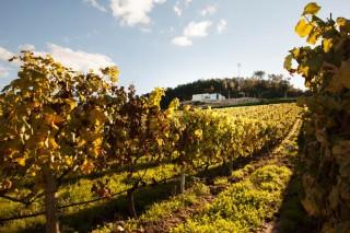 Coidados do viñedo ao rematar a vendima: mildeu, enfermidades da madeira e abonado
