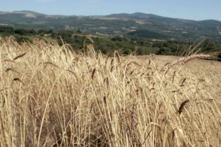 O trigo do país duplicará a súa produción coa nova IXP Pan Galego