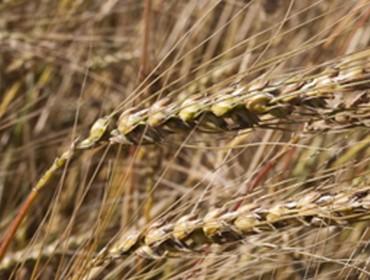 """Os panadeiros galegos piden """"sementar Galicia de cereal autóctono"""""""