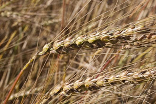 Jornada sobre buenas prácticas agrarias en el cultivo del trigo del país