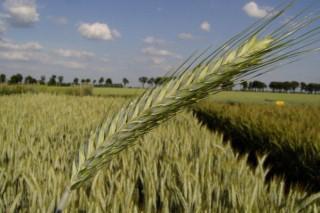 Cultivos alternativos para o pago verde da PAC (VII): o triticale