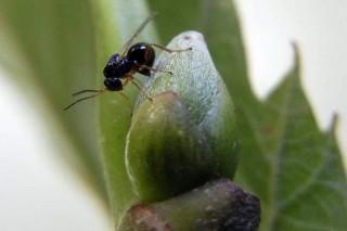 La expansión de la avispilla del castaño obliga a  aumentar la lucha biológica