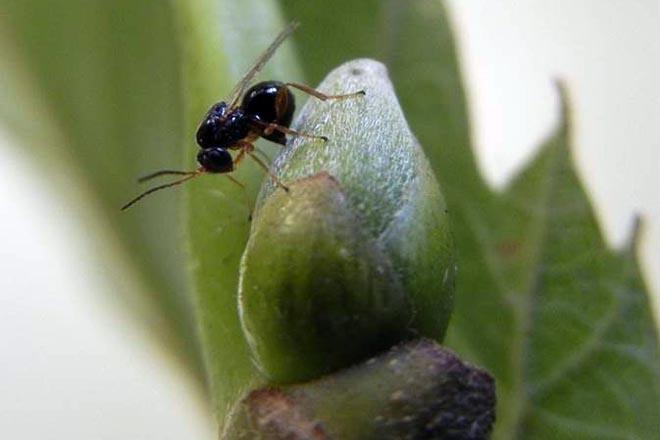 A expansión da avespiña do castiñeiro obriga a intensificar a loita biolóxica