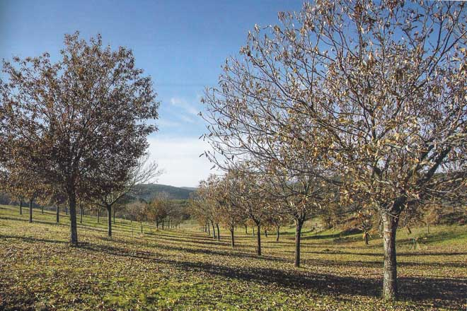 Plantación y cuidados del soto para la producción de castaña